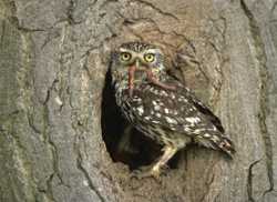 Little-Owl-male250.jpg (28053 bytes)